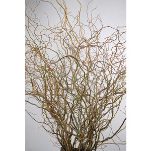 curly willow