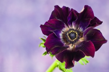 purple-anemone-flowers-wallpaper-1
